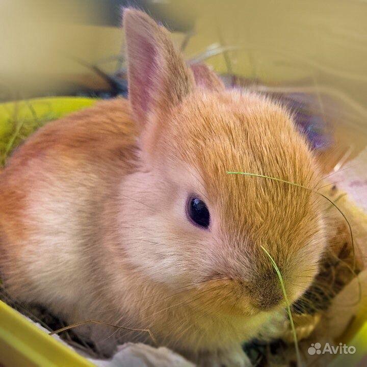 Карликовые декоративные кролики от заводчика в Москве - фотография № 7