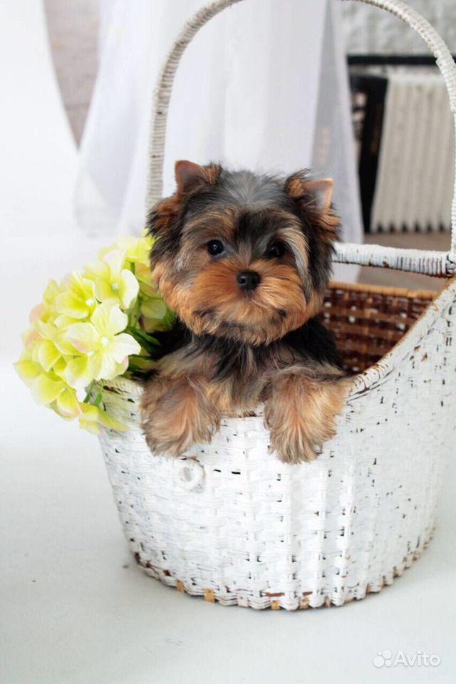 Йоркширский терьер -очень красивые щенки в Иваново - фотография № 1