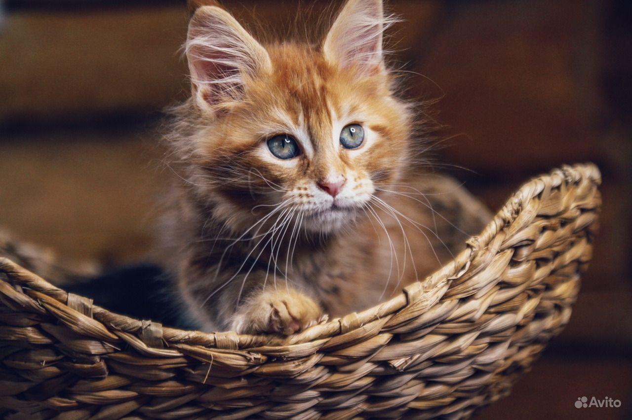 Мейн-кун котенок обаяшка в Москве - фотография № 7