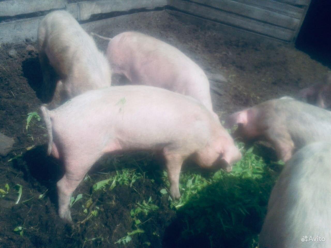 Свиньи хряки в Марьяновке - фотография № 2