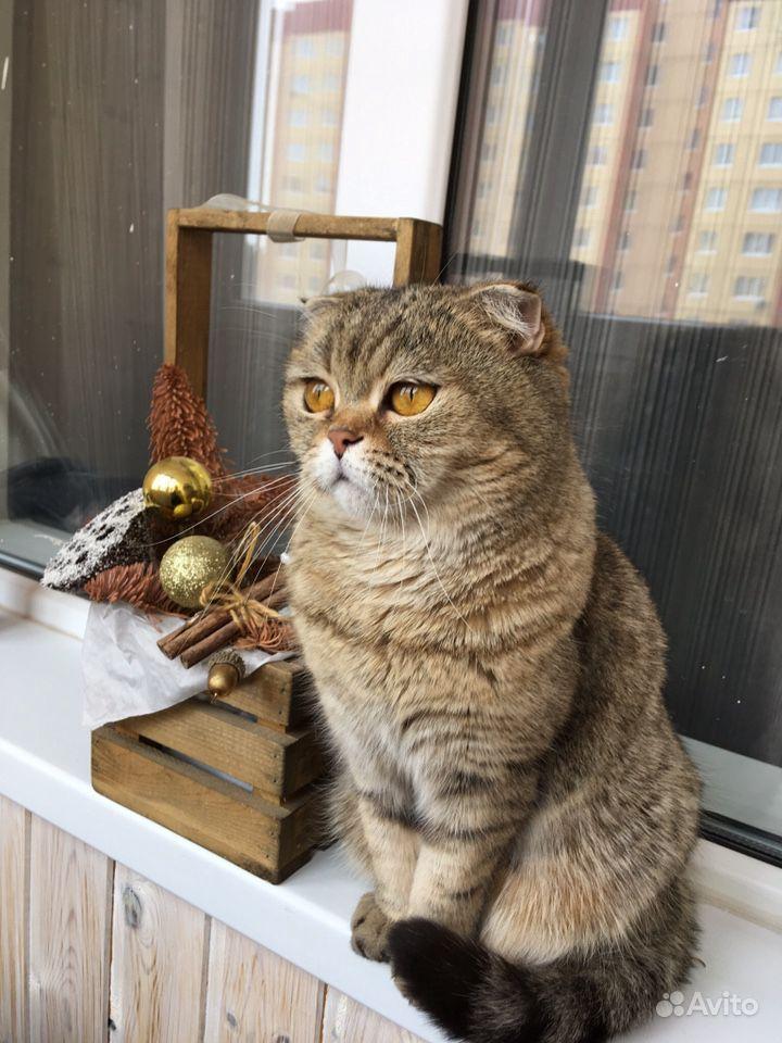 Шотландская молодая кошечка