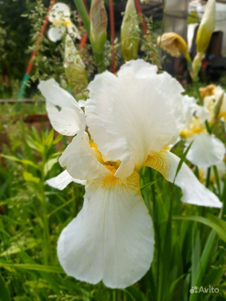 Цветы садовые купить на Зозу.ру - фотография № 7