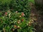 Саженцы малины Таруса Малиновое дерево, Полька