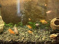 Рыбки. Вольнохвостые. Золотая рыбка