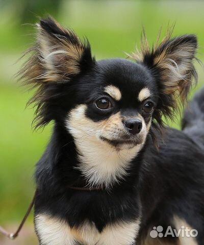 фото взрослых собак чихуахуа