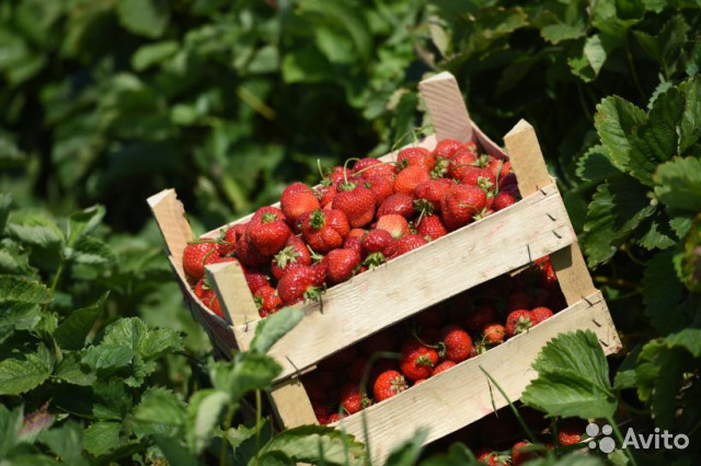 Grow strawberries ready reliable business