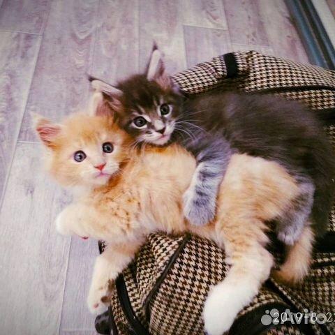 котята мейкуны фото