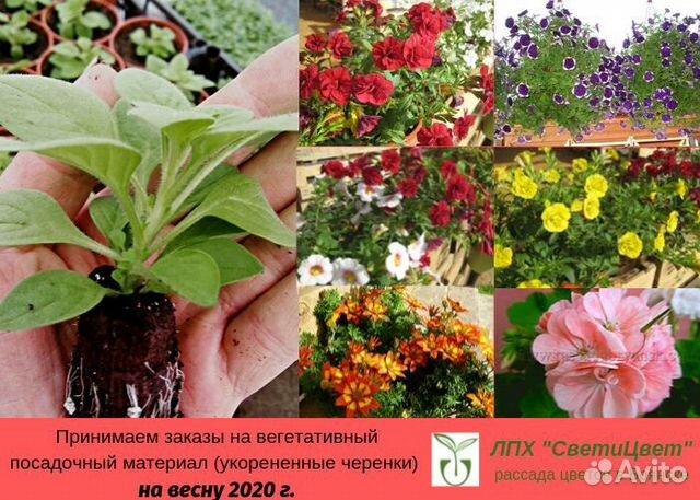 Вегетативные Черенки Цветов Интернет Магазин