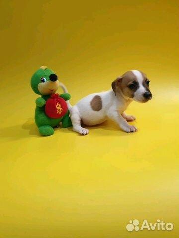 Джек Рассел терьер-щенки трехцветные и белорыжие купить на Зозу.ру - фотография № 3