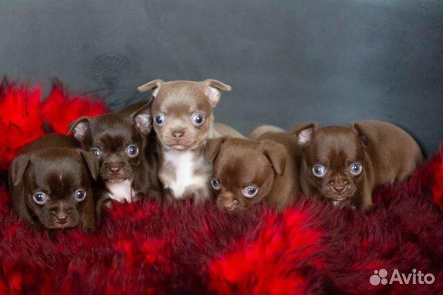 Гладкошёрстные щенки чихуахуа купить на Зозу.ру - фотография № 2