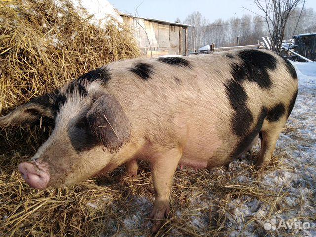 Свиньи супоросые купить 2