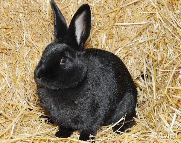 существуют особи, кролики черно бурый в один месяца фото него коричневые волосы