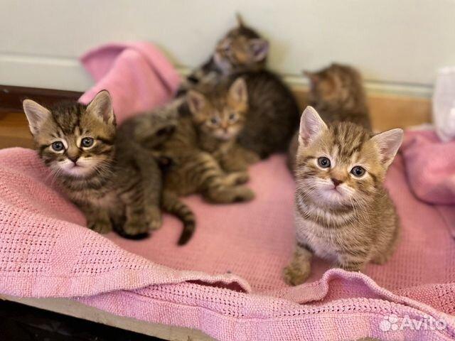 Кошка  89217221222 купить 3