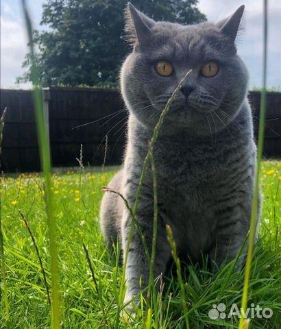 Британские котята  89025669533 купить 3