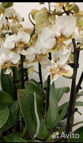Орхидеи  89091710609 купить 7