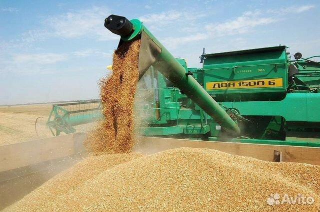 Пшеница  89036323401 купить 1