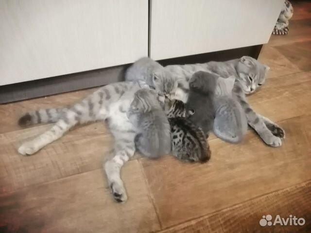 Шотландские котята  89129231319 купить 1