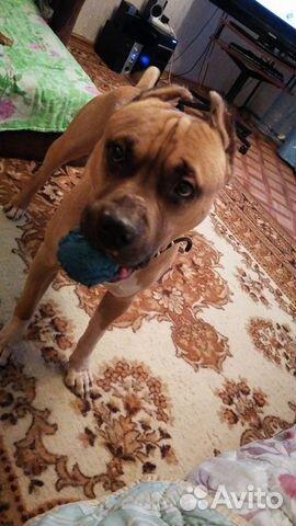 Staffordshire Terrier  89086512321 buy 2