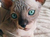 Котята канадского сфинкса в Зеленограде