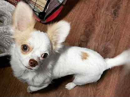 Продам собаку чихуахуа со всем добром годовалую