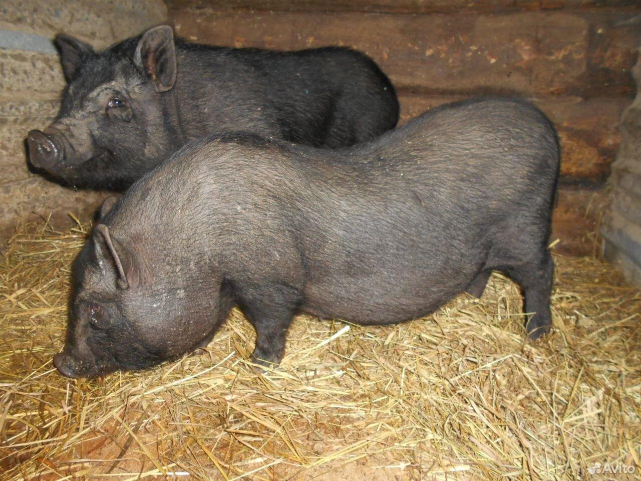 Продам вьетнамских вислобрюхих поросят и свинок  89527591583 купить 1