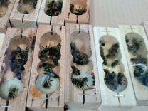 Продаются пчеломатки