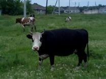 Коровы молочные