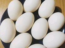 Утиное инкубационное яйцо