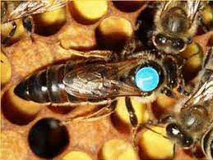 Продам пчеломаток породы Карника Тройзек 1075 (Ф1