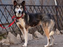 Красивая статная стерилизованная собака ищет семью