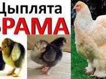 Цыплята брама.Несушки.Утята.Индюшата.Муларды