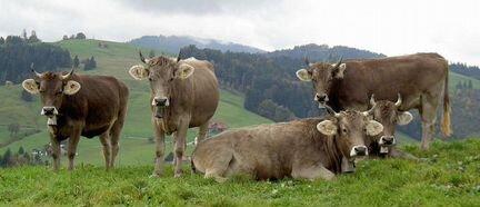 Продаются коровы и тёлки Швицкой породы