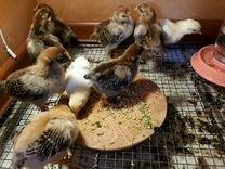 Яйцо чистокровных кур от 30руб,цыплята, куры