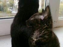 Котята метисы мать:беспородная отец:сфинкс корниш