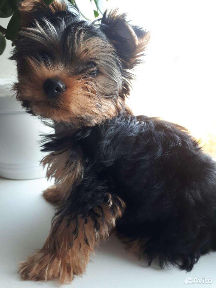 Yorkshire Terrier  89698019162 köp 1