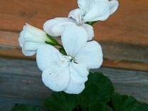 Пеларгония герань белая