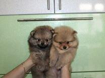 Шпиц щеночки — Собаки в Геленджике